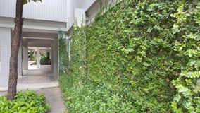 Coatbuttons, margherita messicana la piccola foglia dell'albero piantata sulla parete come pianta ornamentale per decora una pare Fotografia Stock