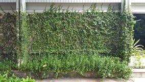 Coatbuttons, marguerite mexicaine la petite feuille d'arbre plantée sur le mur comme plante ornementale pour décorent un mur ou u images stock