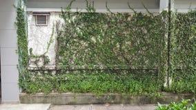 Coatbuttons, marguerite mexicaine la petite feuille d'arbre plantée sur le mur comme plante ornementale pour décorent un mur ou u photos libres de droits