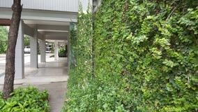 Coatbuttons, marguerite mexicaine la petite feuille d'arbre plantée sur le mur comme plante ornementale pour décorent un mur ou u photographie stock libre de droits