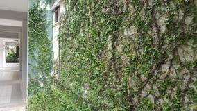 Coatbuttons, marguerite mexicaine la petite feuille d'arbre plantée sur le mur comme plante ornementale pour décorent un mur ou u images libres de droits