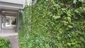 Coatbuttons, marguerite mexicaine la petite feuille d'arbre plantée sur le mur comme plante ornementale pour décorent un mur ou u image libre de droits