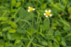 Coatbuttons,Mexican daisy. Mexican daisy flower in a spring garden Royalty Free Stock Photos