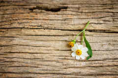 Coatbuttons, Mexican daisy. On old wood background Stock Image