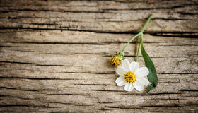 Coatbuttons, Mexican daisy. On old wood background Royalty Free Stock Photo