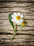 Coatbuttons, Mexican daisy. On old wood background Stock Photos
