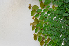 Coatbuttons Mexican daisy plant raise on wall with space Royalty Free Stock Photo