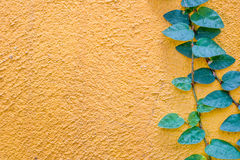 Coatbuttons Mexican daisy plant on yellow wall Royalty Free Stock Image