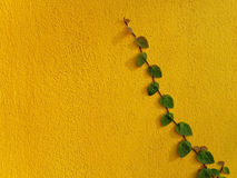 Coatbuttons Mexican daisy plant on yellow wall Royalty Free Stock Photo