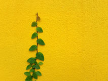 Coatbuttons Mexican daisy plant on yellow wall. With space Royalty Free Stock Photos