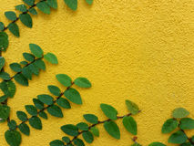 Coatbuttons Mexican daisy plant on yellow wall Royalty Free Stock Images