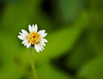 Coatbuttons, Mexican daisy. Tridax procumbens Royalty Free Stock Photography