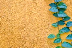Coatbuttons stokrotki Meksykańska roślina na kolor żółty ścianie obraz royalty free