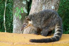 Coati, één van velen wasbeer-als Schepselen in Iguazu worden gevonden valt Nationaal Park, Puerto Iguazu, Argentinië dat royalty-vrije stock afbeeldingen