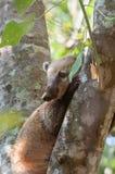 Coati över en trädstam Royaltyfri Fotografi