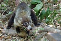 Coati στη Κόστα Ρίκα Στοκ Εικόνα