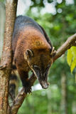 Coati στο τροπικό δάσος της Αμαζώνας, εθνικό πάρκο Yasuni Στοκ Φωτογραφία