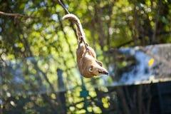 coati ветви скача к Стоковые Фото