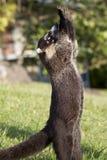 coati обнюхал белизну Стоковая Фотография RF