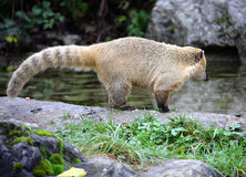 Coati 1. Portrait of Ring Tailed Coati Stock Image