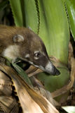 Coati. Side close up of a White-nosed Coati (Nasua narica Royalty Free Stock Photography