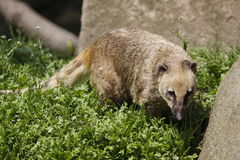 Coati. Genera Nasua and Nasuella, also known as Brazilian aardvark, Mexican tejón, hog-nosed coon,pizote, crackoon and snookum bear, is the  member of the Stock Image