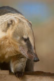 Coati. Close up of a coati (Brazilian aardvark Stock Photo