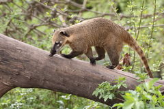 Coati. The coati going on the wood trunk Stock Photo