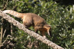 Coati Royalty Free Stock Photography