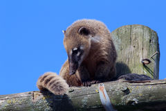 Coati Royalty Free Stock Photo
