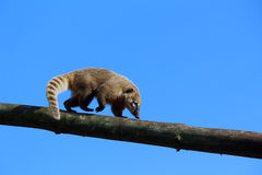 Coati. In Marwell Zoo in Hampshire Stock Photography