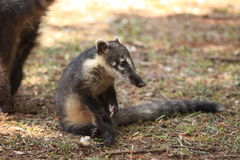 Coati Royalty Free Stock Image