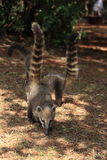 Coati Royalty Free Stock Photos