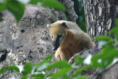 Coati. Adult coati on a tree Stock Photography