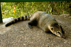Coati. A coati resting in a path of Iguazu Park - Brazil Stock Photography
