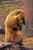 Coati Image libre de droits