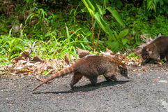 Coati Image stock