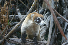 Coati. Very curious coati in mangrove Stock Images