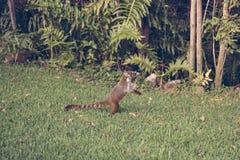 Coati Arkivfoto