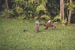 Coati Royaltyfria Bilder