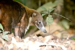 Coati. Adult Coati forraging for food in the rain forest of Panama Stock Images