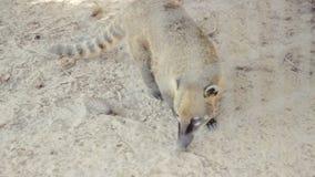 coati Anello-muniti, masticare, fiutante stock footage