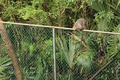 Coati auf einem Zaun Stockfoto
