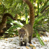 Coati Royalty Free Stock Images