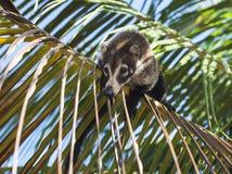 Coati Balancing en rama de la palma fotos de archivo