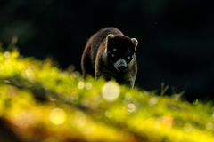 Coati with beautiful sun light. White-nosed Coati, Nasua narica, in the nature habitat. Animal from tropic forest. Wildlife scene Stock Photography