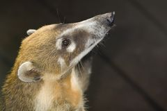 Coati begging Royalty Free Stock Photo
