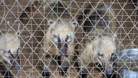 Coati Blanco-sospechado lindo detrás de barras oler hacia fuera algo y pedir comer almacen de metraje de vídeo