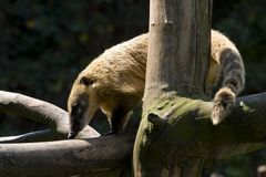 Coati on a branch. Coati on a dry branch Stock Photos