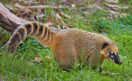 White-Nosed coati Brown. Coati brown-nosed in the zoo royalty free stock images